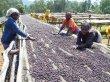 画像8: エチオピア<フルーティーなナチュラル製法> (8)